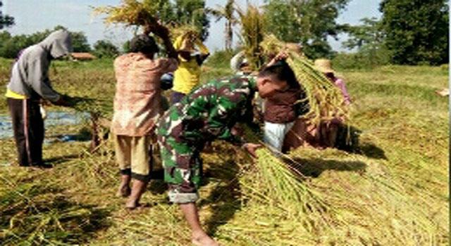 Babinsa Galis membantu petani memanen padi