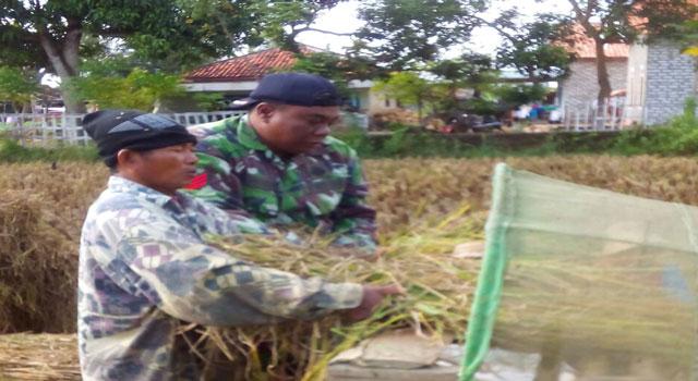 Babinsa Panempan dampingi petani panen padi