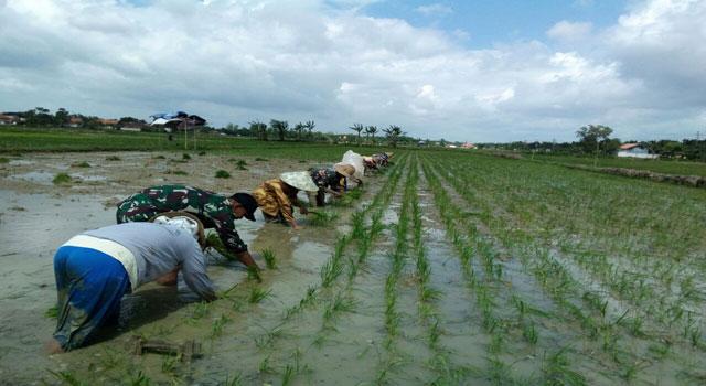 TNI membantu petani di Pasean Pamekasan menanam padi.