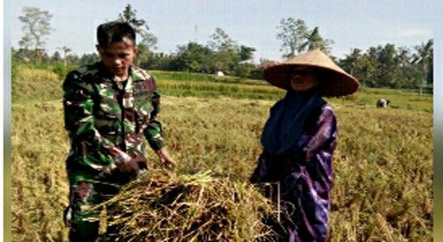 Babinsa, dari Koramil Pegantenan membantu warga memanen padi